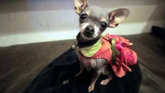 Der Chihuahua-Halter muss über 1000 Franken für Gerichts- und Verfahrenskosten bezahlen. (Symbolbild)