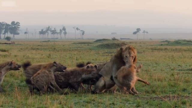 Ein Löwe gegen 20 Hyänen: Todeskampf mit Happy End