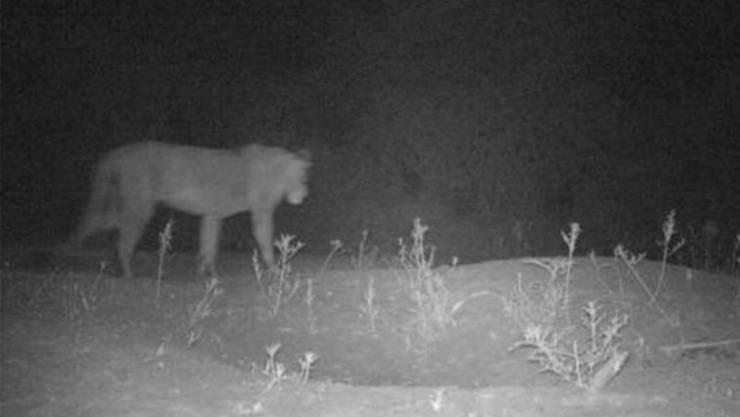Mit Fotofallen beweisen die Forscher, dass die Löwen wirklich existieren.