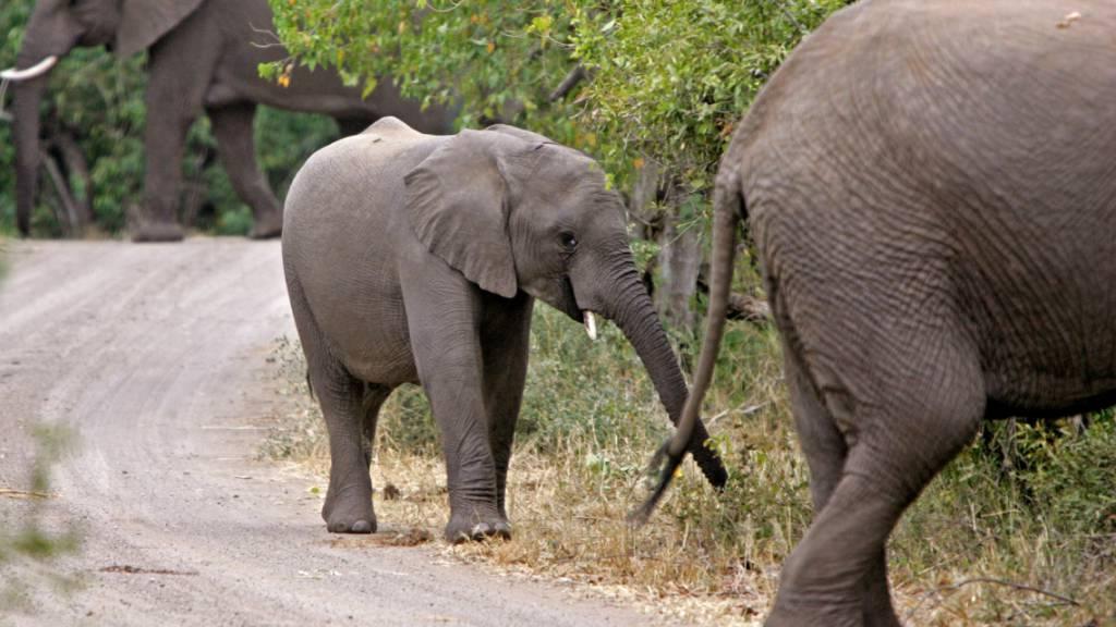 Elefant trampelt Wilderer in Südafrika zu Tode