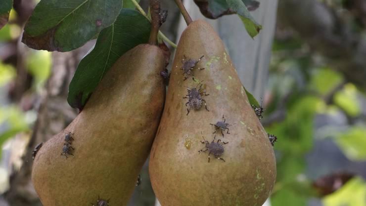 Die Marmorierte Baumwanze setzt den Obstproduzenten in der Schweiz zu.
