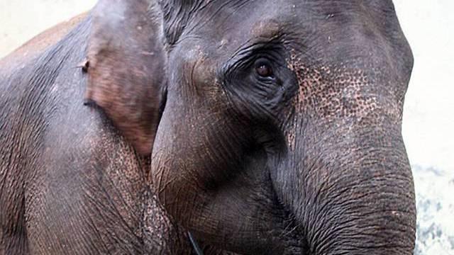 Elefant im Zoo (Archiv)
