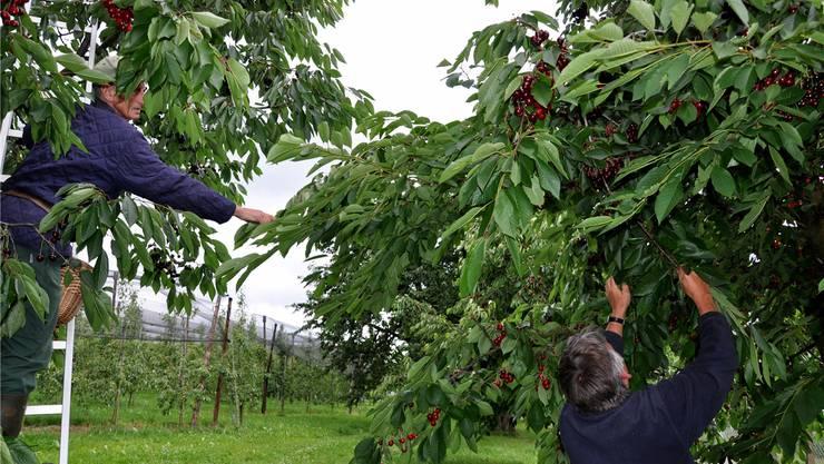 Die Situation vieler Landwirte ist schwierig – Limmattaler Obstbauern bei der Ernte (Symbolbild