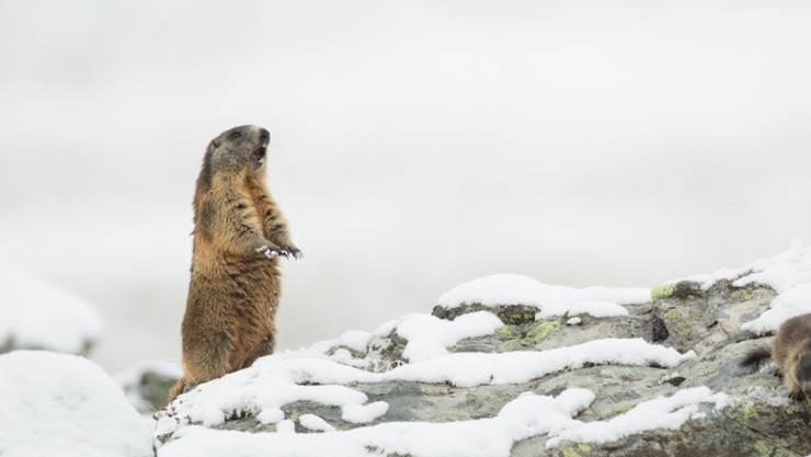 Das Alpenmurmeltier (Marmota marmota) kommt gut mit Kälte zurecht. Säugetiere haben sich einer neuen Studie zufolge deutlich früher in ihrer Evolution an Kälte angepasst als wechselwarme Wirbeltiere.