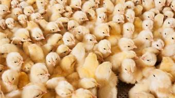 Frisch geschlüpfte Küken: Zum Eierlegen taugen später nur die Weibchen, deshalb werden die Männchen gleich am ersten Lebenstag vergast. iStock