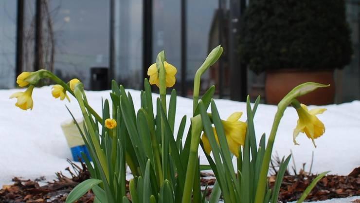 Bis die Osterglocken blühen, braucht es noch Geduld.
