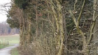 Das Badener Stadtforstamt schneidet Hecken und Bäume in Wäldern zurück