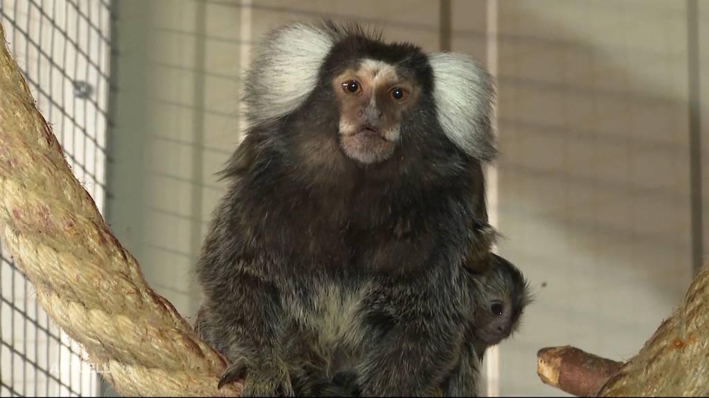 Affen-Drillinge im Zeiher Tierpark sorgen für Begeisterung