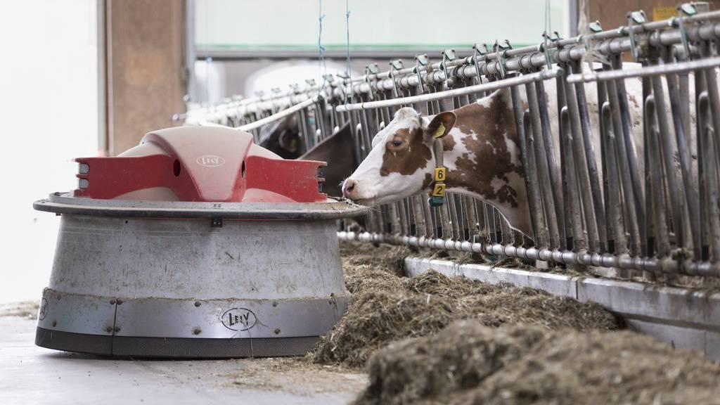 Ein Roboter übernimmt die Fütterung der Kühe im Stall.