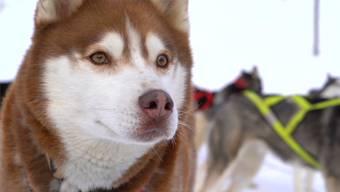 Unbändig gross ist die Freude der Hunde über das erste Training im Schnee, hier in Arosa.