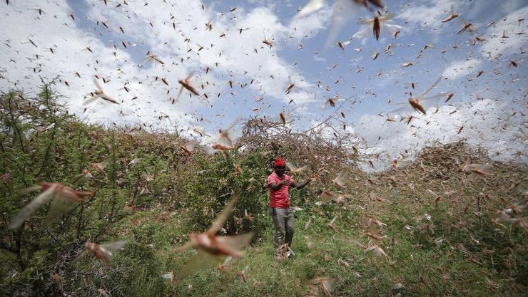 Kenia erlebt die schlimmste Heuschreckenplage seit 70 Jahren.