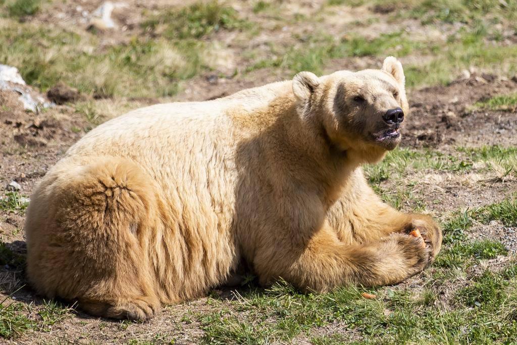 Er dürfte vom ganzen Rummel kaum etwas mitbekommen haben: Napa, der bereits seit einem Jahr in Arosa lebt und derzeit Winterruhe hält.