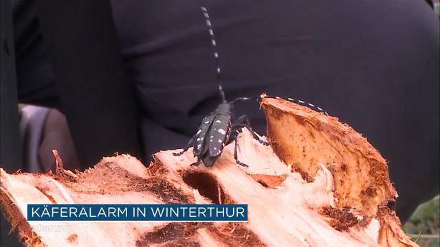 Käfer-Alarm in Winterthur