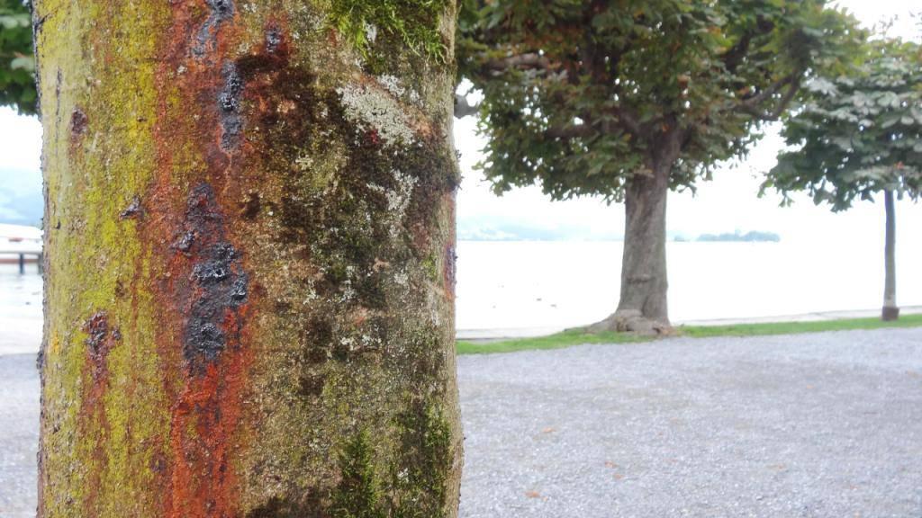 Ein asiatisches Bakterium befällt Rosskastanien und verursacht «blutende» Stellen an den Bäumen.