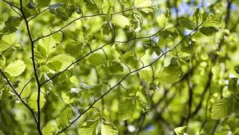 Wann die Bäume im Frühling ihre Blätter entfalten, beeinflusst ihre Fähigkeit, das Treibhausgas CO2 aufzunehmen.