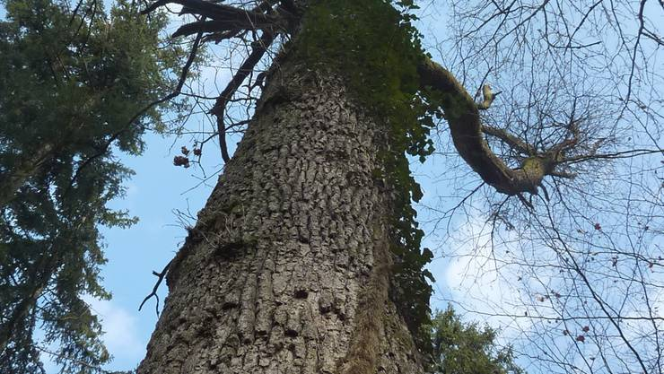 Ein Baum wie ein Monument –und das Zuhause vieler Tierchen: Gränicher und Unterkulmer können als Paten den Bestand solcher Riesen sichern. zvg