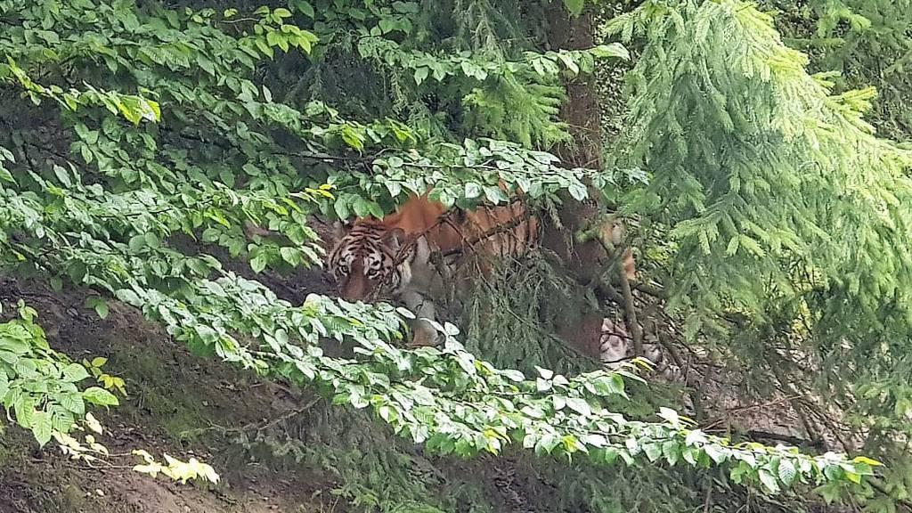 Wird Tigerin Irina nach tödlichem Angriff eingeschläfert?