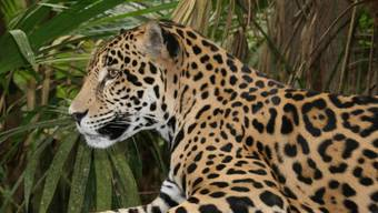 Im neu geschaffenen Nordostkorridor leben etwa 26 Jaguare