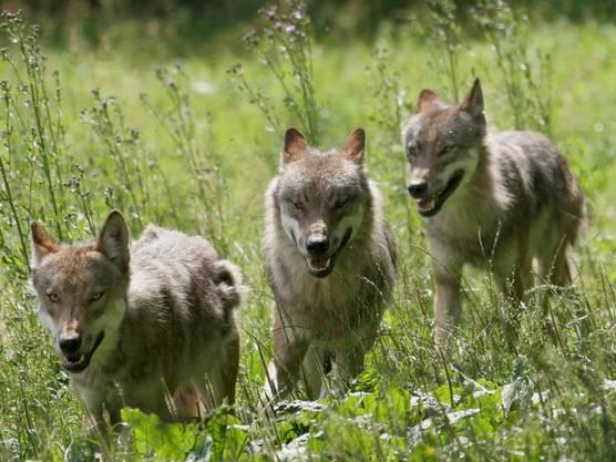 Seit der Rückkehr des Wolfs haben sich Flora und Fauna im Calanda-Gebiet verändert.