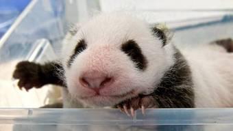 Schon 1400 Gramm schwer: Eines der beiden Panda-Jungen beim Wägen im Zoo Berlin.