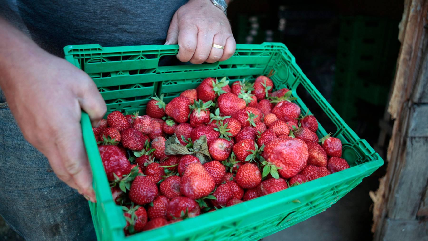 Die Nachfrage nach Schweizer Erdbeeren war in diesem Jahr sehr hoch. Viele pflückten die Früchte gleich selbst. (Symbolbild)