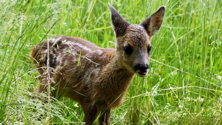Ein Rehkitz wurde Opfer einer Hundeattacke im Wald. (Archiv)