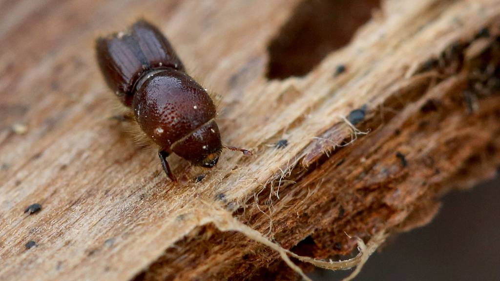 Borkenkäfer macht Holzmarkt kaputt