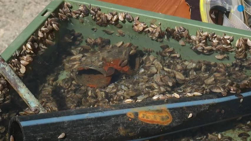 Thurgau ruft auf zum Kampf gegen die böse Muschel im Bodensee