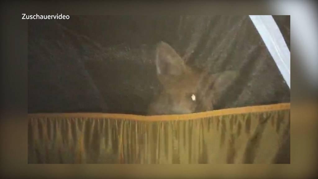 Fuchs versucht in Zelt mit Kind zu gelangen