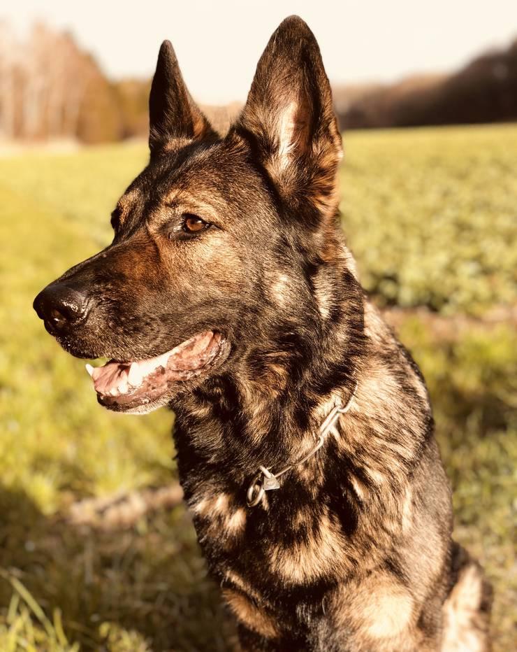 Stellte den Flüchtigen: Polizeihund Maro du Boidamont