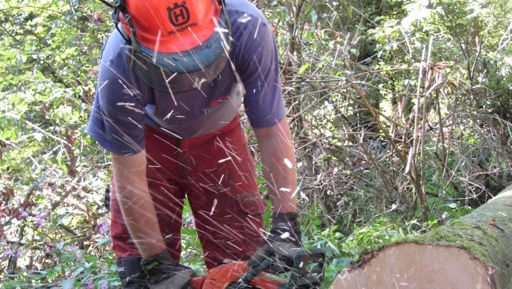 Manuelle Holzernte nach den Sturmschäden im Staatswald Baan.