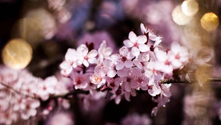 zartrosa Frühlingsträume