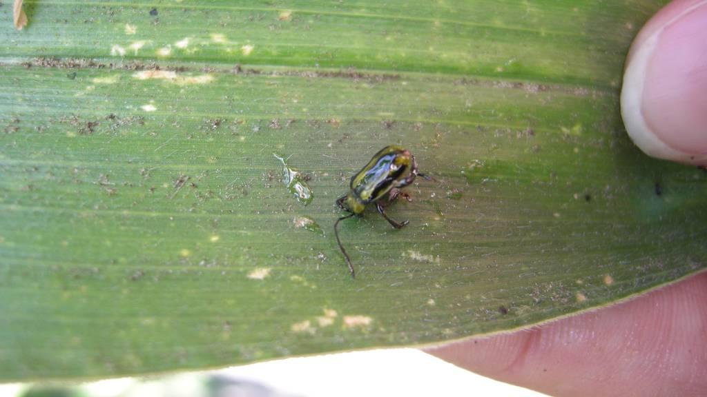 Bauern müssen gegen Maisschädling kämpfen