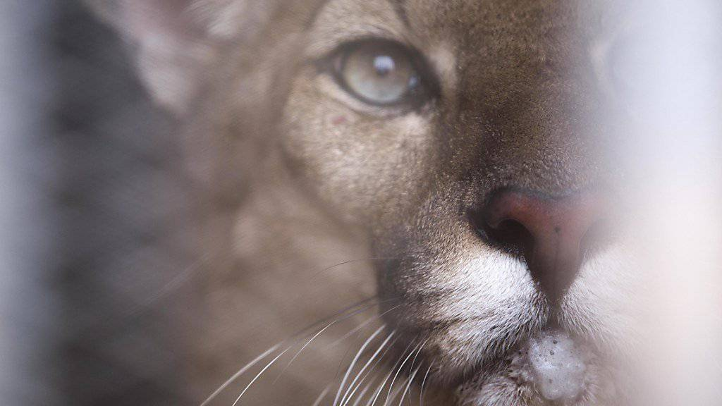 Puma beisst Knaben in den Kopf