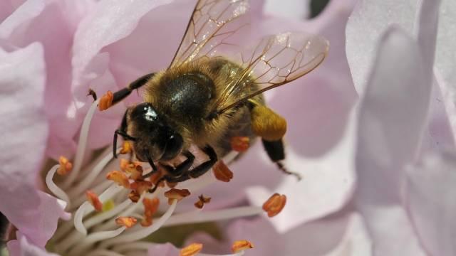 Eine Biene sammelt Pollen (Archiv)