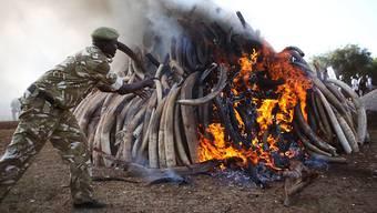 Wenige Länder spielen im illegalen Tierhandel eine Schlüsselrolle - im Bild ein kenianischer Ranger beim Verbrennen von gut 15 Tonnen Elfenbein (3. März 2015)