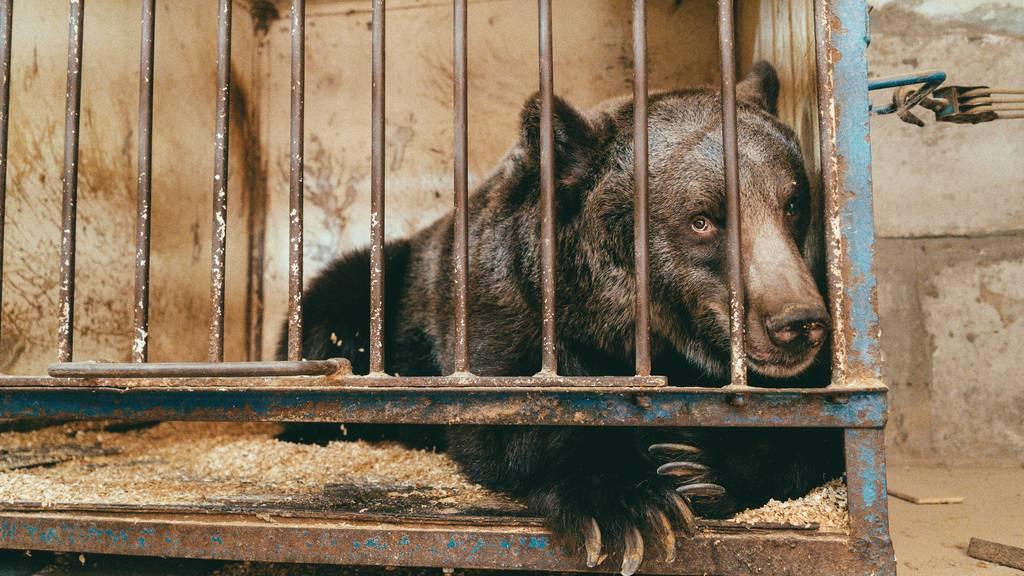 Bärenland rettet ehemalige Zirkusbärin