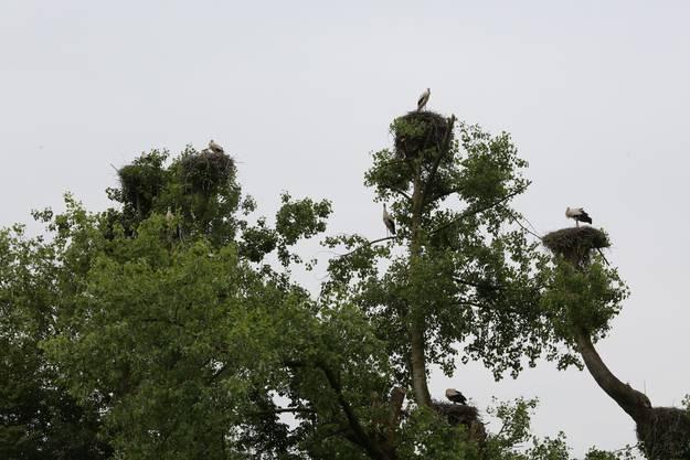 Verhaltener sind die Storchen-Babys auf den Horsten über dem Infozentrum Witi