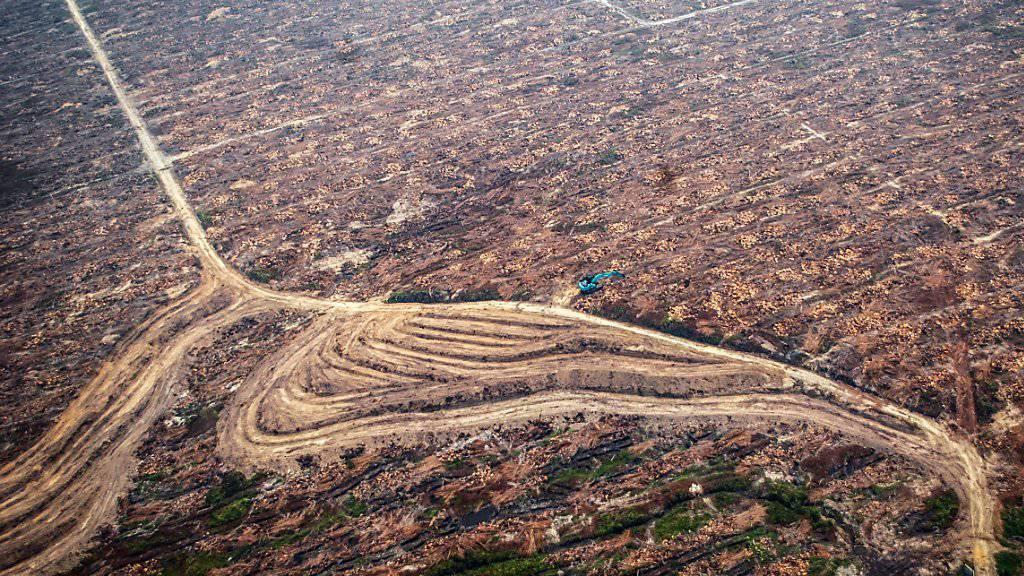 Dem Anbau von Ölpalmen fallen grosse Bodenflächen zum Opfer. Die Hilfswerke Fastenopfer und Brot für alle fordern die Schweizer Banken auf, bei der Finanzierung von Palmölfirmen darauf zu achten, dass diese Menschenrechte und Umweltstandards einhalten. (Symbolbild)