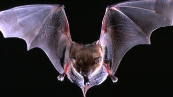 Fledermäuse sind Träger von Viren, die auch dem Menschen gefährlich werden können. (Symbolbild)