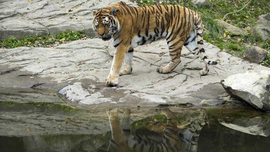 Zoo Zürich: Tiger verletzt Tierpflegerin tödlich