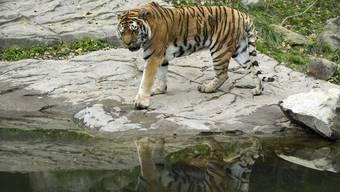 Eine Tierpflegerin wurde im Zoo Zürich von einem Amurtiger angegriffen und tödlich verletzt. Das Tigerweibchen griff die Pflegerin am Samstagnachmittag im Tigergehege an. Für die Frau kam jede Hilfe zu spät.