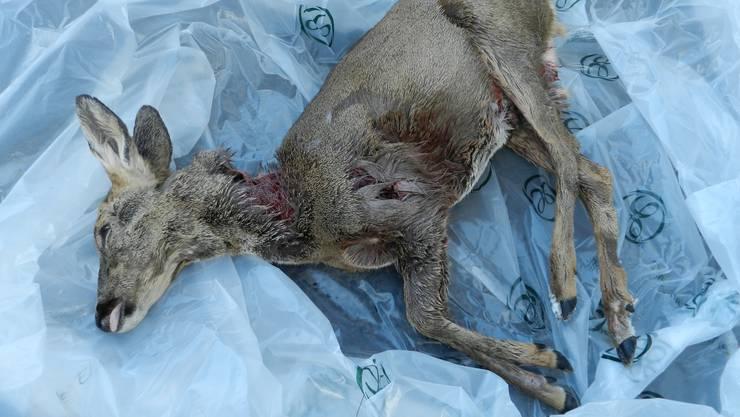 Das von einem unbekannten Hund gerissene Reh. Der Jagdaufseher musste es nachher von seinen Schmerzen erlösen.