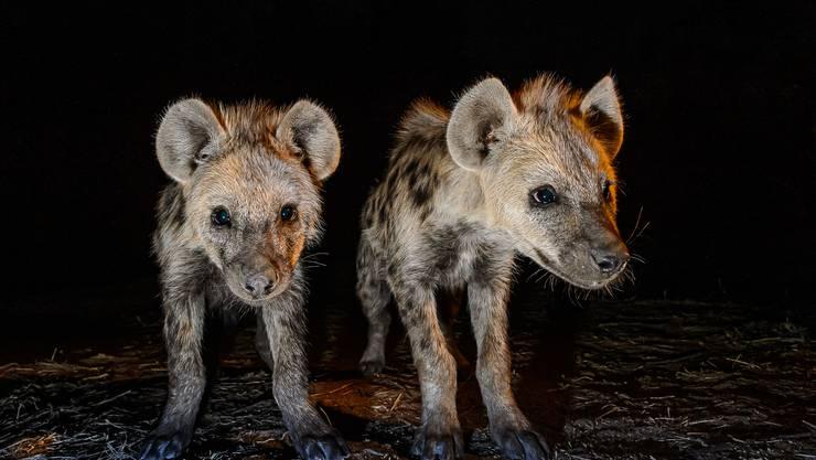 Zwei neugierige Jungtiere beobachten den Fotografen aus nächster Nähe.