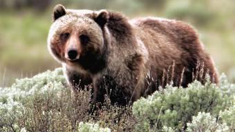 Ein hungriger Bär sucht zu fressen (Symbolbild)