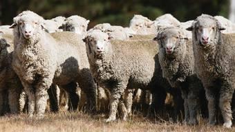 Hier kommt die allerfeinste Merinowolle her: 6000 Schafe tummeln sich auf der Westvale Farm in Armidale, Südostaustralien. Fotos: Caroline McCredie