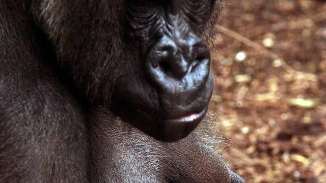 Die Gorillafrau Nache ist tot (Archiv)