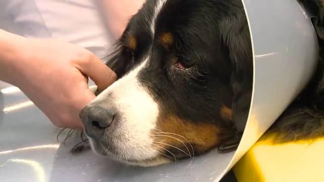 Laika ist beduselt, Ottos Rachen wird operiert und Miros Rätsel ist gelöst – Alltag im Tierspital