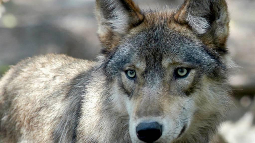 Räte fordern nach Nein zu Jagdgesetz besseren Schutz vor Wölfen