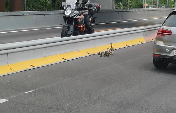 Die Entenfamilie verirrte sich auf der Autobahn. (© Kapo SG /facebook.com/Rex Jakupi)